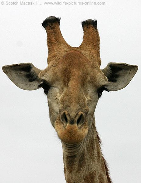 giraffe_ngr-4450[1].jpg