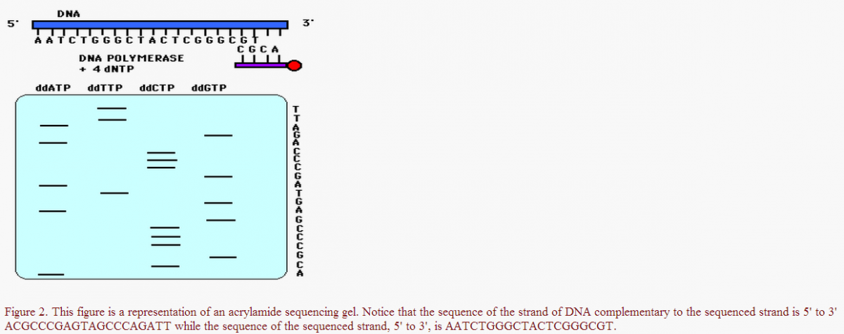 Sanger Sequencing - Biochemistry and Molecular Biology - Science Forums