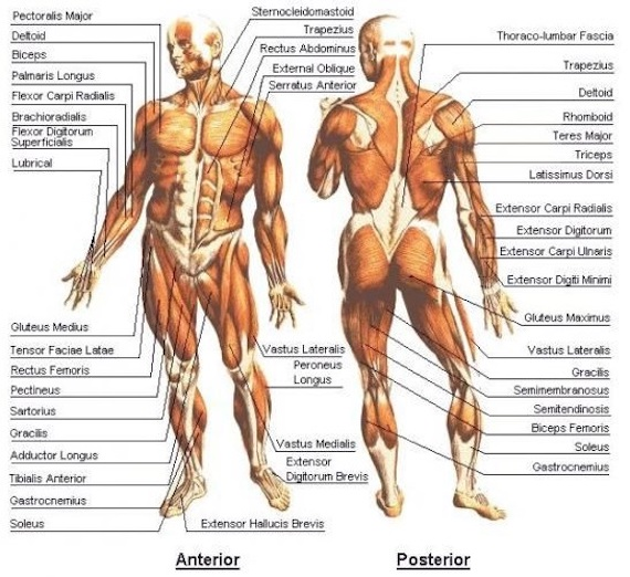 What is the human body evolutionarily designed for? - Evolution ...