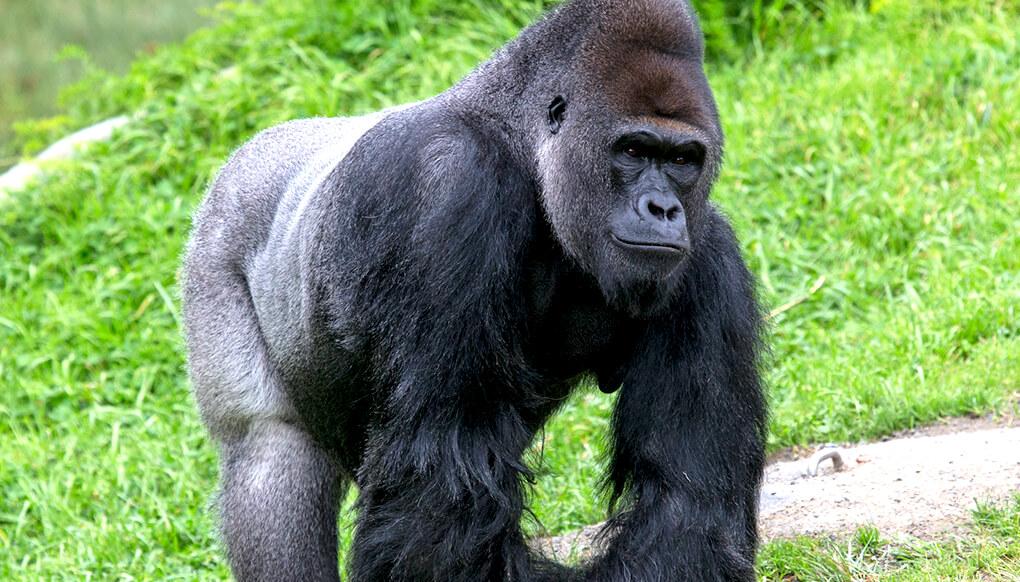 Wie groГџ ist ein Gorilla-Penis